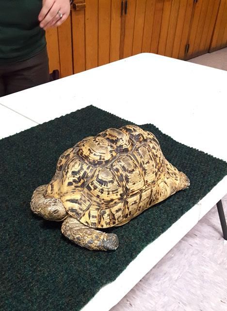 Leo the Tortoise