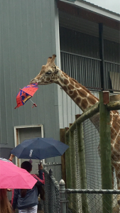 giraffe stealing someone's umbrella