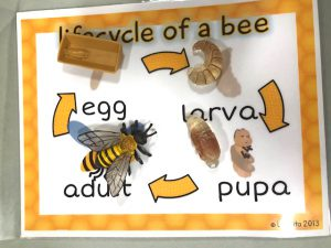 poster showing lifecycle of a bee