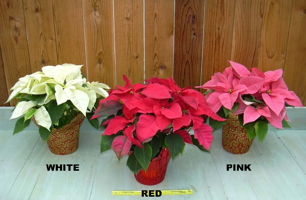 three poinsettias on a table