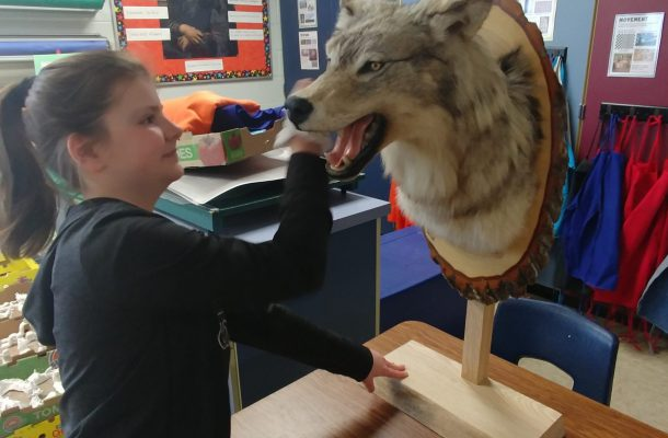 student examining a taxidermic mounting of a wolve's head