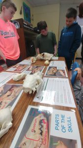 students looking over animal skulls