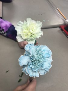 a white carnation and a blue carnation